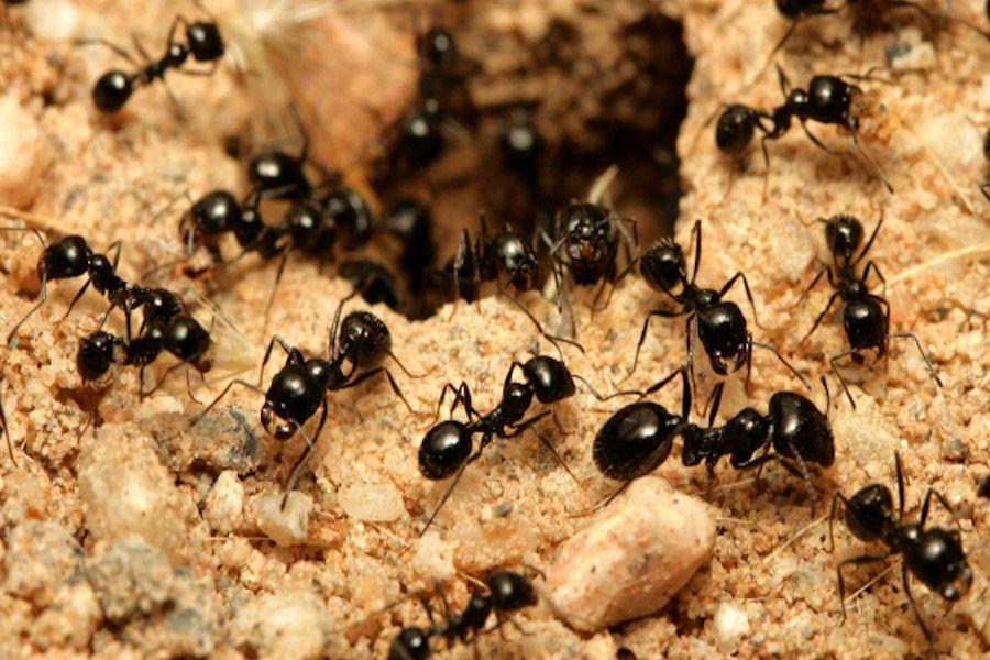 cómo eliminar las hormigas de tu casa