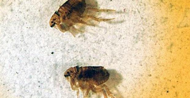 Cómo limpiar las pulgas de tu casa